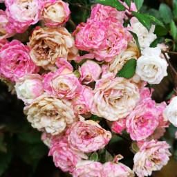 roses pink white dry freetoedit
