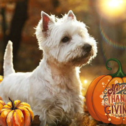 happythanksgiving thankful thanksgiving westie westies westhighlandwhiteterrier dog freetoedit