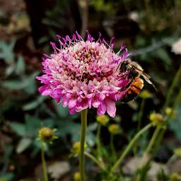 freetoedit spring photoflowers pink bee pcprimavera