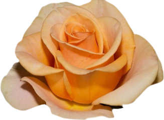 pure nature rose naturesbeauty roses beauty freetoedit