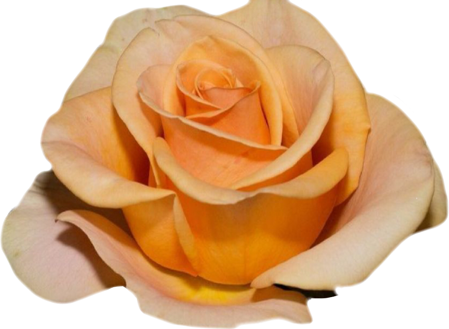 #pure #nature #rose #naturesbeauty #roses #beauty