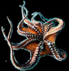 octopus fish water beach ocean fstickers freetoedit