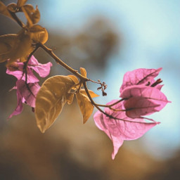 freetoedit nature plantsandflowers simple flowers bougainvillea bougainvilleabranch simplicity bluredbackground depthoffield naturephotography