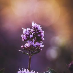 freetoedit flower purple fall summer bokeh nature naturelover