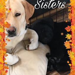 puppy cute sisters labrador