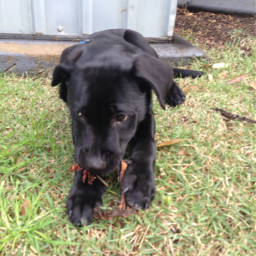 labrador puppy dog pabloescobark cute pcmypetsbestportrait mypetsbestportrait