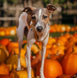 freetoedit italiangreyhound dog pumpkin halloween sighthound iggytuna iggy pcmypetsbestportrait mypetsbestportrait