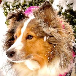 freetoedit sheltie dog snow winter dogloveforever photography nature pcmypetsbestportrait mypetsbestportrait