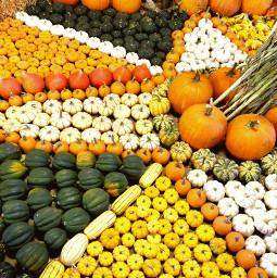 freetoedit harvest harvestfestival harvesttime pumpkins squash