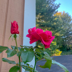 rose thornless red myphoto
