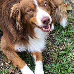 freetoedit ozzie dog pcmypetsbestportrait mypetsbestportrait