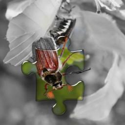 beetle blackandwhite puzzle colors freetoedit srcpuzzlepieces puzzlepieces