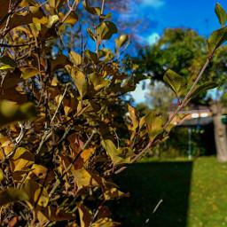 kinora mygarden autumn leaves autumncolors autumnleaves bluesky clouds tree freetoedit
