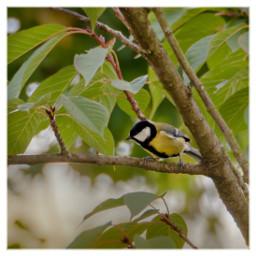 bird titmouse kohlmeise animal nature freetoedit