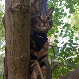 mycat adventurecat pcmypetsbestportrait mypetsbestportrait