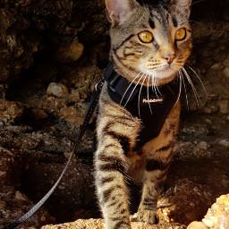 freetoedit mycat adventurecat pcmypetsbestportrait mypetsbestportrait