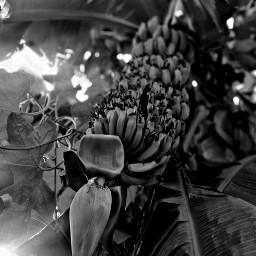banana beauty flower indian bestwallpaper