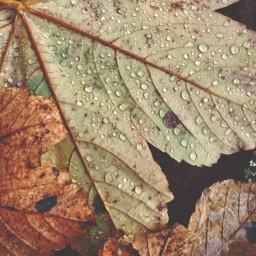 freetoedit leavesontheground nature waterdroplets raindropsonleaves autumnleaves patternsinnature naturephotography