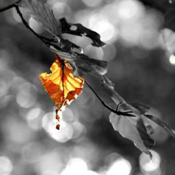 freetoedit fall autumn leave blackandwhite colorsplash