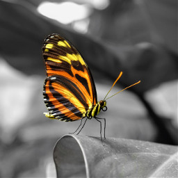 butterfly colorsplash colorsplasheffect blackandwhite orient_arts madewithpicsart heypicsart makeawesome picsart freetoedit