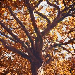 freetoedit nature autumnmood tree autumntree goldenleaves naturesbeauty fallcolors warmfeels fallsplendor naturephotography