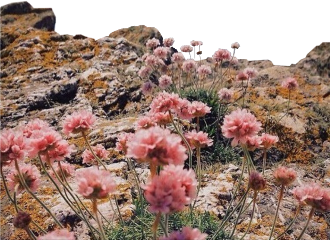freetoedit field flowers pink cliff landscape roses view mountain rock meadow grass heaven nature earth beach travel sky sea hike beautiful
