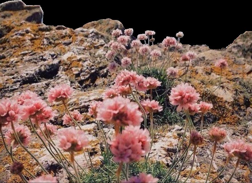 #freetoedit #field #flowers #pink #cliff #landscape #roses #view #mountain #rock #meadow #grass #heaven #nature #earth #beach #travel #sky #sea #hike #beautiful