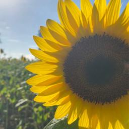 sunflower sunshine sunflowerfield sunflowerphotography