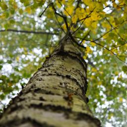 kinora lookup tree loveit natureisbeautiful nature nikon closeup freetoedit