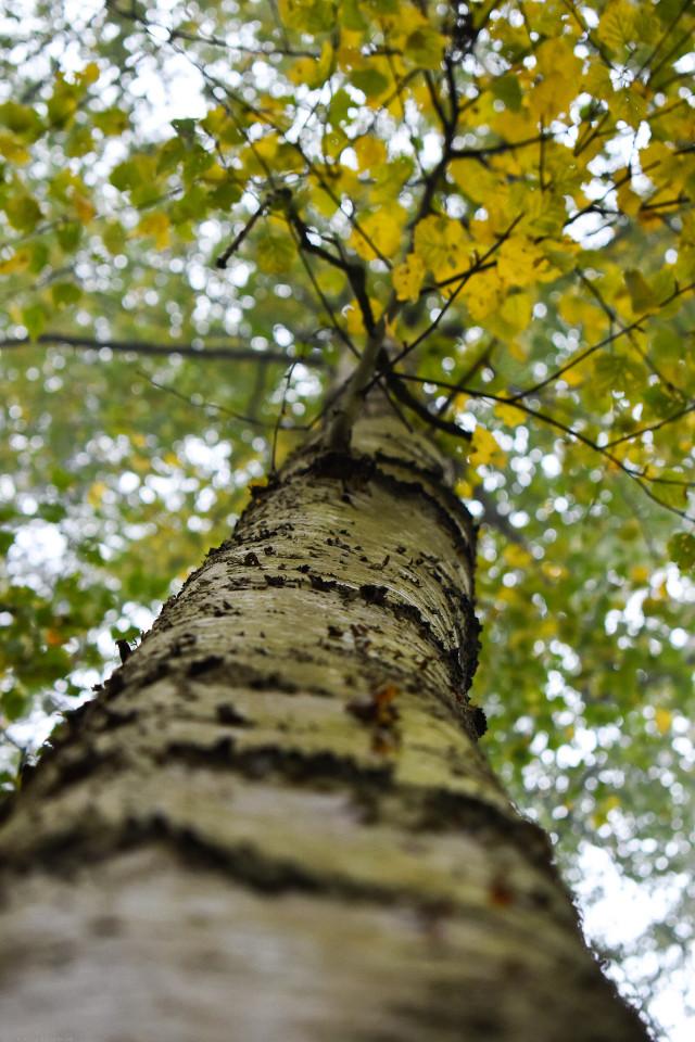 #kinora #lookup #tree #loveit #natureisbeautiful #nature #nikon #closeup