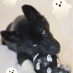 husky halloweenpuppy ghost freetoedit
