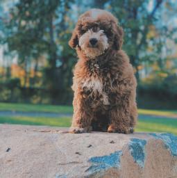 goldendoodle dog dogphotography dogperson followme