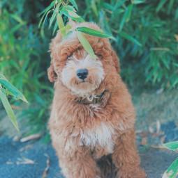 babmoo dogphotography photo doggy dog photos happyfall happyfallyall fall goldendoodle fun always outside freetime