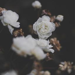 freetoedit nature flowers roses naturesbeauty whiteroses goticaesthetic moodyedit naturephotography