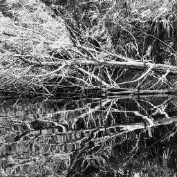 tree water reflection blacknwhite