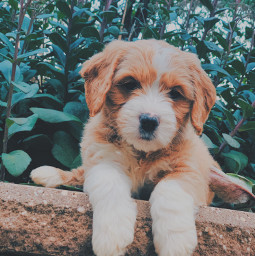 puppy goldendoodle socute photography dogphotography