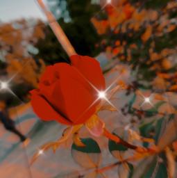 happyhalloween rose red zoom sparkles tree orange hi followmoi fyp friday freetoedit