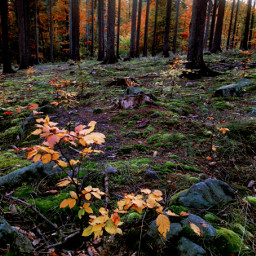 autumn autumnvibes fall forest fallcolors woodland trees myphoto myedit myart madewithpicsart joannart becreative heypicsart picsartmaster freetoedit pcpowerofnature powerofnature