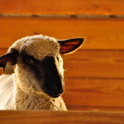 sheep lovely beautiful georgeos myphoto animallover