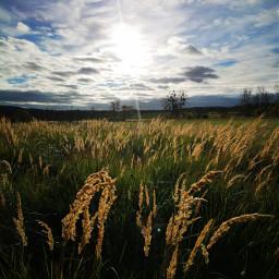 freetoedit grasses backlit landscape myownphoto