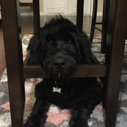 freetoedit vulpixdagreat goldendoodle dog puppy