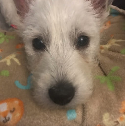dog puppy cutepuppy cutedog westie