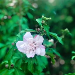 freetoedi flower flowers green pink freetoedit