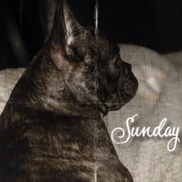 sundayblues frenchiebulldog endoftheweekend wakemeuponfriday cute bulldog bulldogworld freetoedit