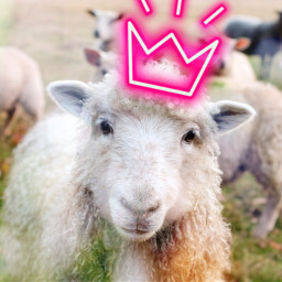 unsplash freetoedit sheep lamb queenbee