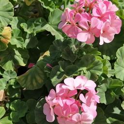 pink flower flowers pinkflowers nature naturephotography