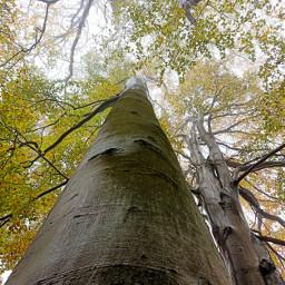 kinora trees bigtrees autumn leaves freetoedit
