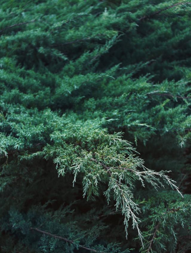 #nature #hillside #forestwalk #freshmornings #intothewoods #woods #trees #naturesbeauty #greenery #cedartrees #treebranches #goodsmells #freshair #deepgreen #naturephotography                                                         #freetoedit