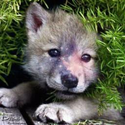 wolfpup doggie cute galaxy freetoedit