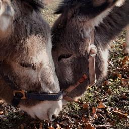animallove ❤ donkeylove dokey